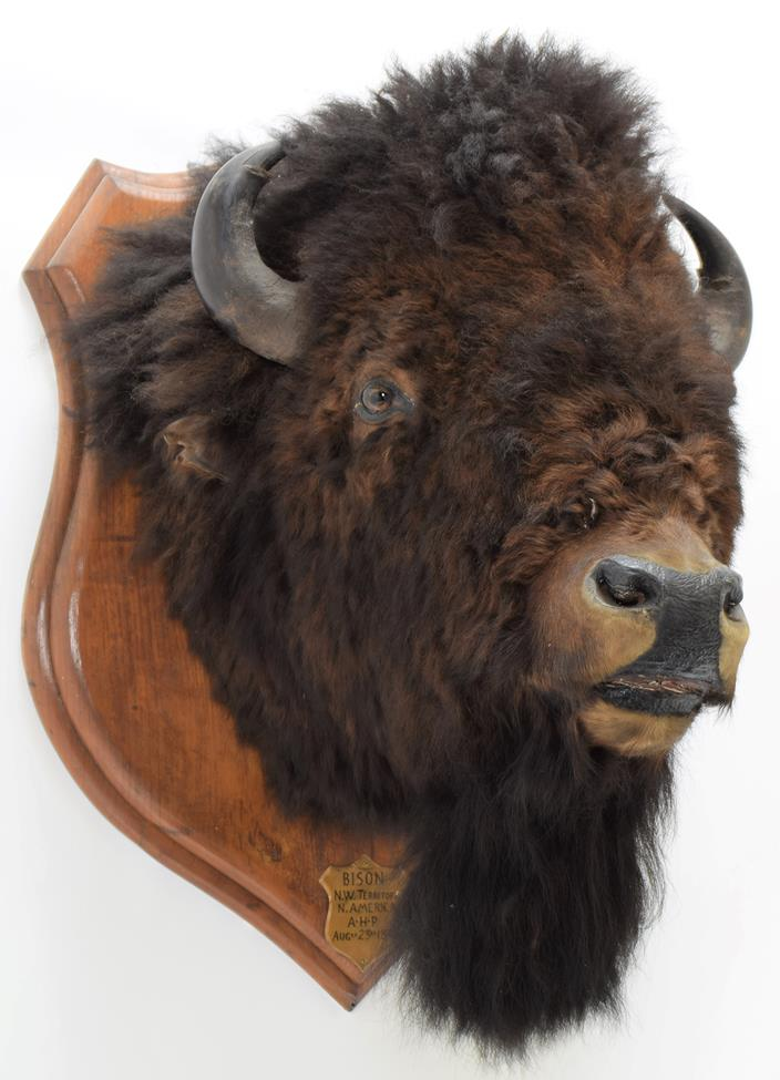 Taxidermy: North American Bison (Bos bison bison), circa August 23rd 1877, North West Territory, - Image 3 of 3