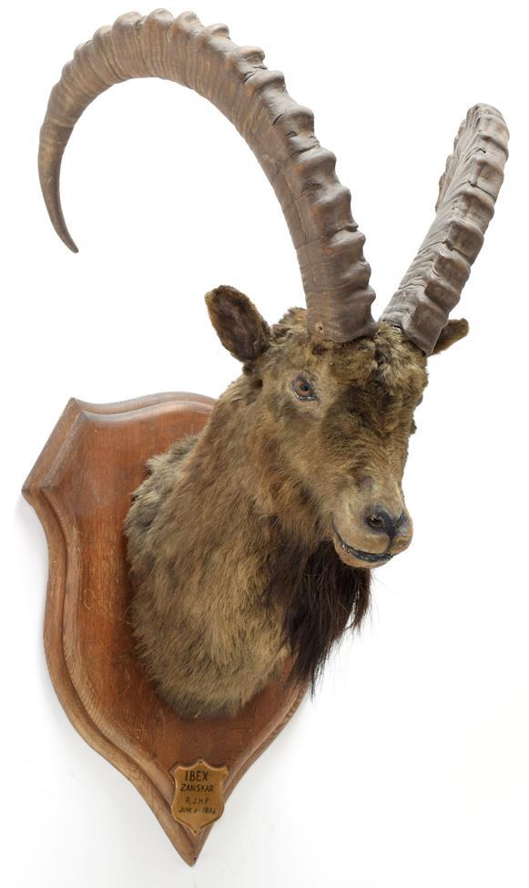 Taxidermy: Mid-Asian Ibex (Capra Sibirica alaiana), circa June 04th 1884, Zanskar, Ladakh,