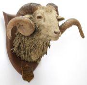 Taxidermy: New Zealand Wild Sheep / Arapawa Sheep (Ovis aries), circa October 12th 1936, New
