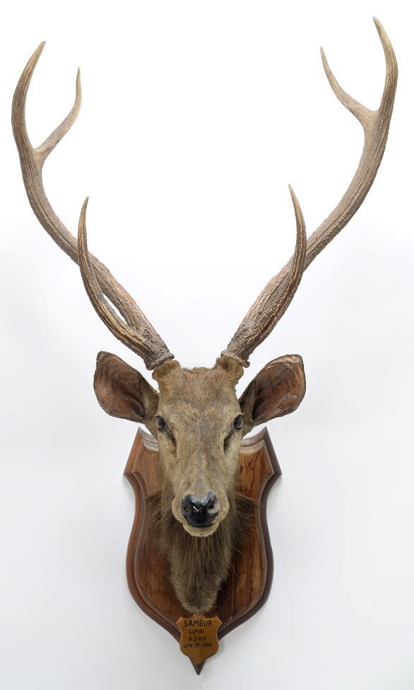 Taxidermy: Indian Sambar Deer (Rusa unicolor), circa January 12th 1883, Limri, Northern India, adult - Image 3 of 3