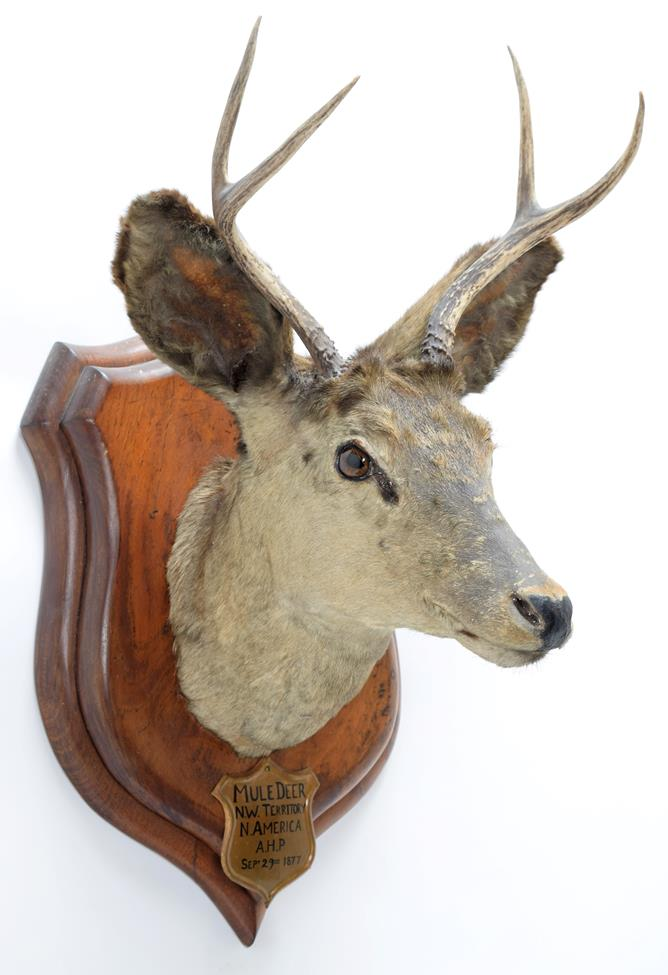 Taxidermy: A Pair of Mule Deer (Odocoileus hemionus), circa September 29th 1877, North West - Image 2 of 6