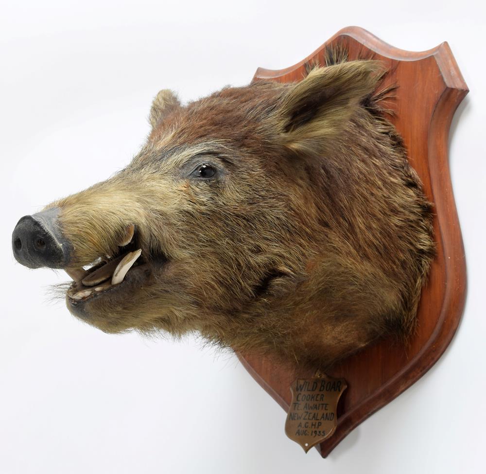 Taxidermy: New Zealand Wild Boar (Sus scrofa), circa August 1935, New Zealand, adult head mount - Image 2 of 3