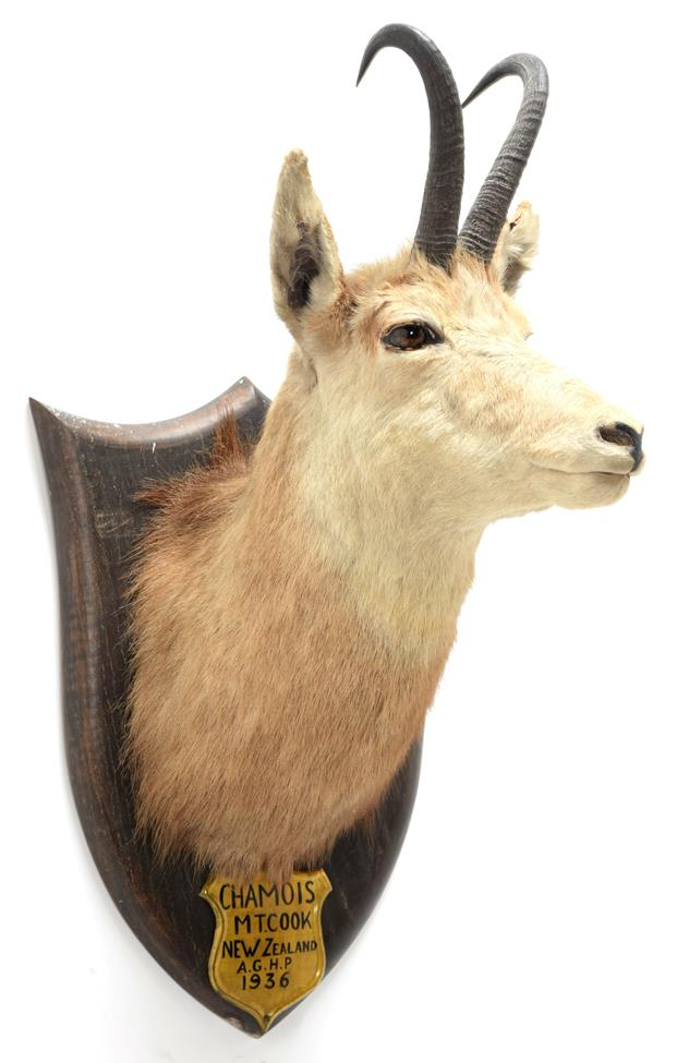 Taxidermy: New Zealand Chamois (Rupicapra rupicapra), circa 1936, by Peter Spicer & Sons, Taxidermy,