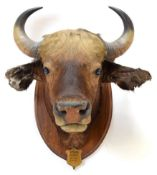 Taxidermy: Indian Gaur Buffalo (Bos gaurus gaurus), circa April 01st 1901, Assam, Northern India, by