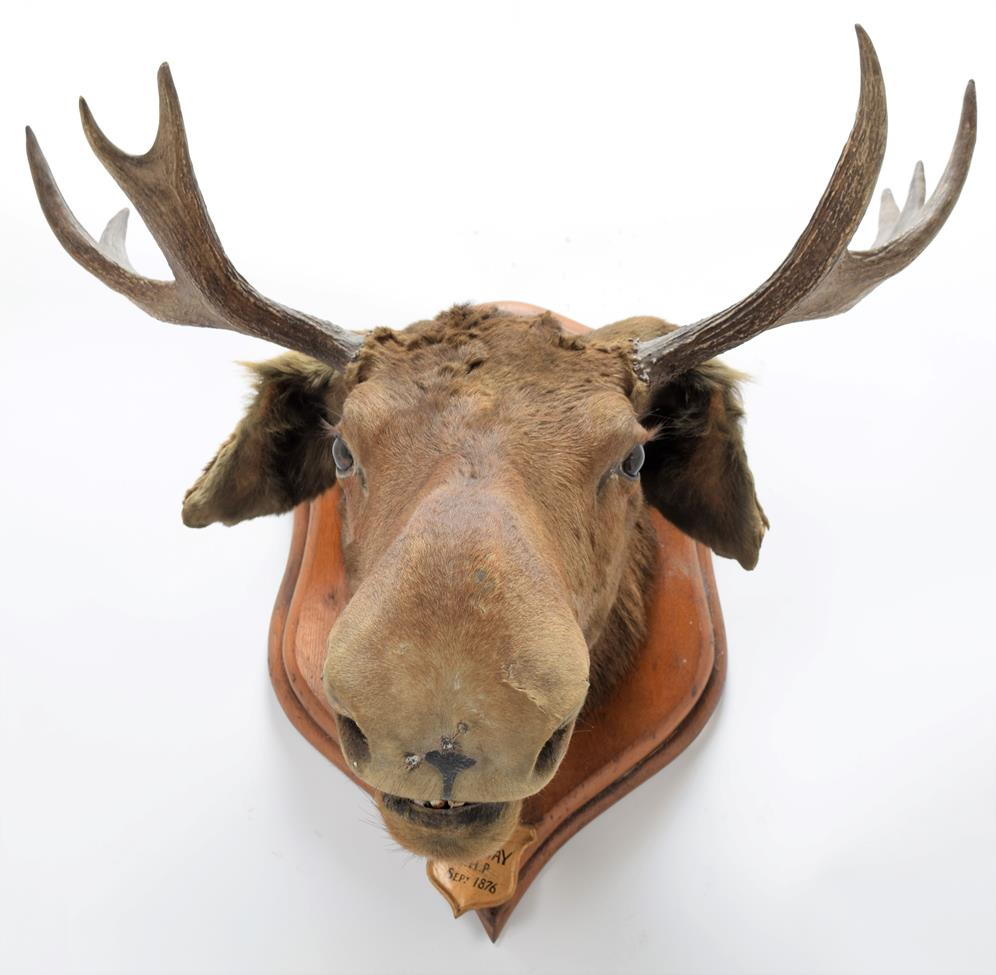 Taxidermy: European Moose (Alces alces), circa September 1876, Norway, young adult male head mount - Image 3 of 3