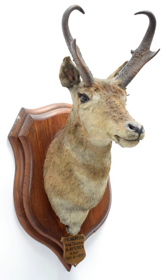 Taxidermy: North American Pronghorn (Antilocapra americana), circa September 06th 1877, North West