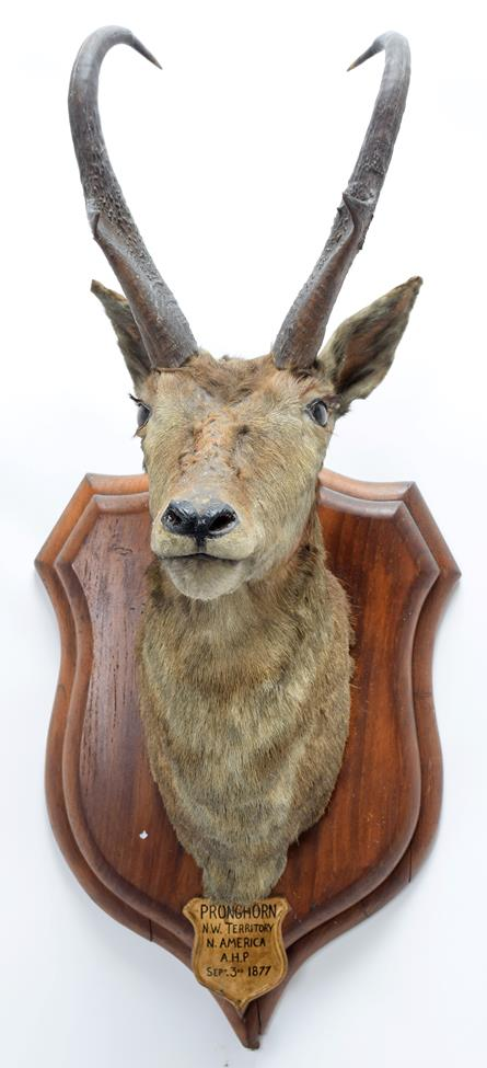 Taxidermy: North American Pronghorn (Antilocapra americana), circa September 03rd 1877, North West - Image 3 of 3