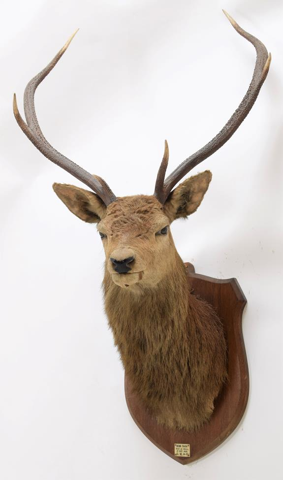 Taxidermy: Scottish Red Deer (Cervus elaphus), circa October 01st 1925, Isle of Mull, attributed - Image 2 of 2