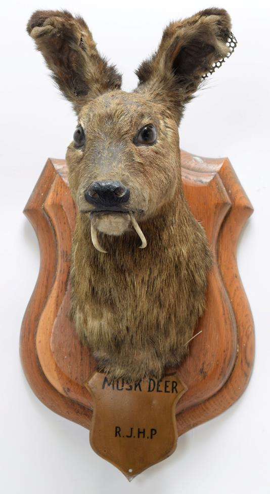 Taxidermy: White-Bellied Musk Deer (Moschus leucogaster), circa 1886, India, neck mount looking - Image 3 of 3