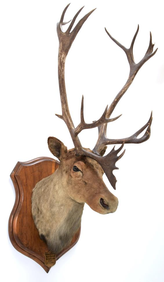 Taxidermy: North American Woodland Caribou (Rangifer tarandus caribou), circa September 11th 1878,