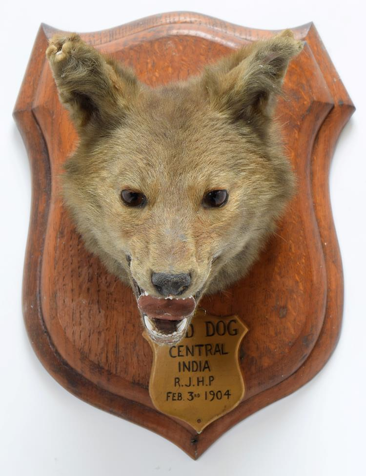 Taxidermy: Indian Wild Dog (Cuon alpinus), circa February 03rd 1904, by Rowland Ward ''The Jungle'', - Image 3 of 3