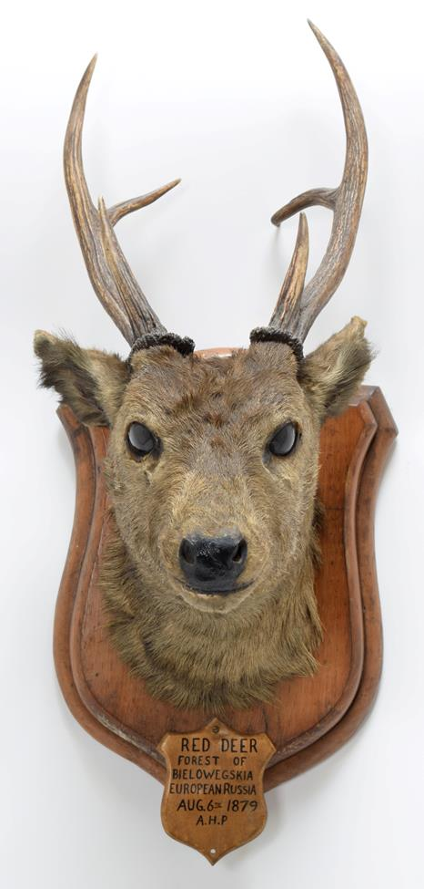 Taxidermy: Indian Hog Deer (Axis porcinus), circa 1887, an adult male head mount looking straight - Image 3 of 3