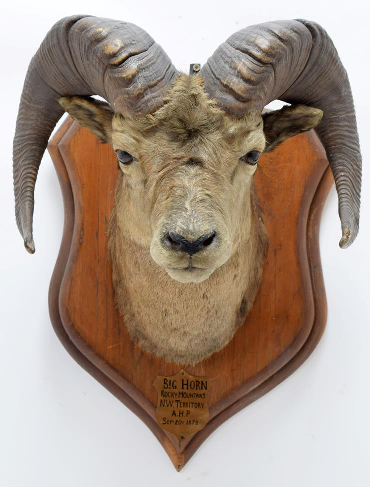 Taxidermy: North American Big Horn Sheep (Ovis canadensis canadensis), circa September 20th 1878, - Image 3 of 3