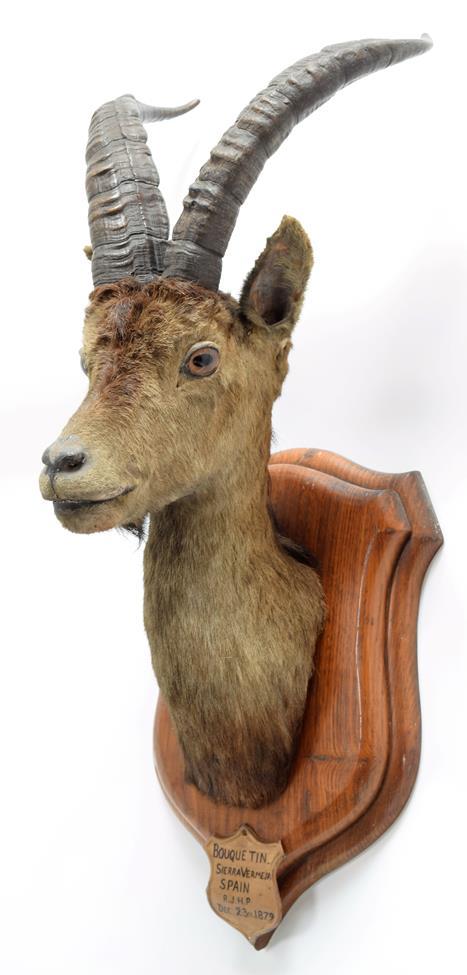 Taxidermy: Spanish Ibex (Capra pyrenaica), circa December 23rd 1879, Bouquetin, Sierra Vermeja,