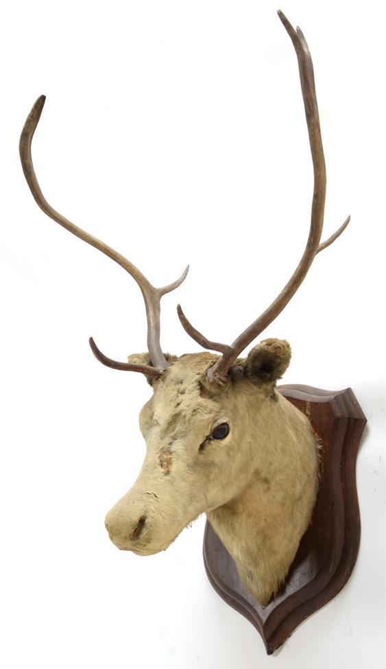 Taxidermy: European Red Deer & European Reindeer, circa late 19th century, a Red Deer stag neck - Image 2 of 6