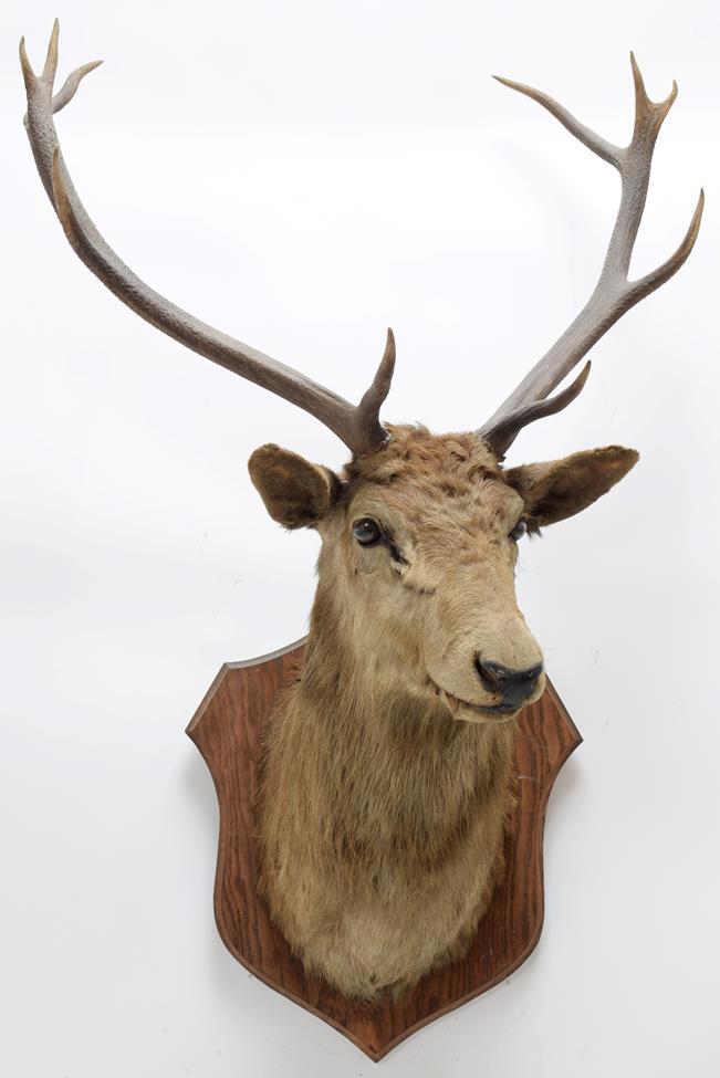 Taxidermy: European Red Deer & European Reindeer, circa late 19th century, a Red Deer stag neck - Image 6 of 6