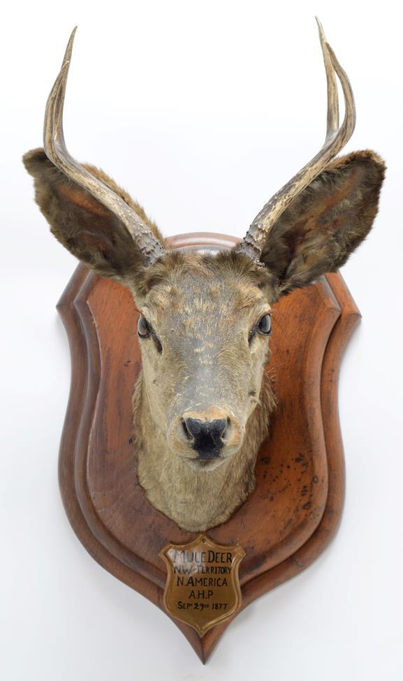 Taxidermy: A Pair of Mule Deer (Odocoileus hemionus), circa September 29th 1877, North West - Image 6 of 6