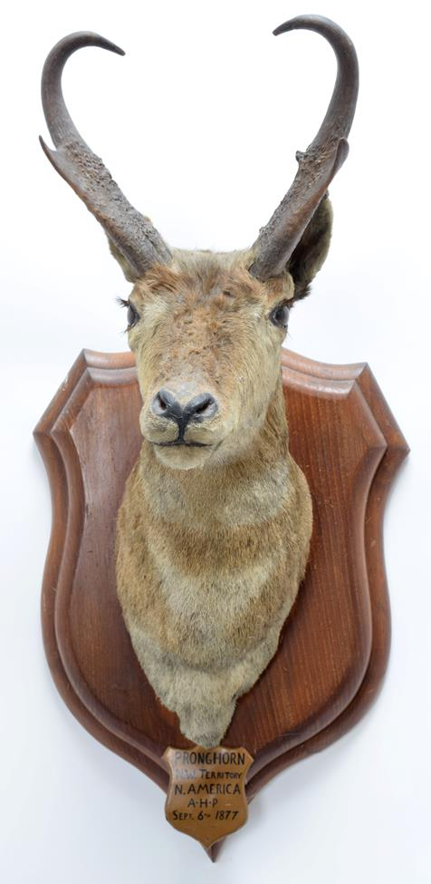Taxidermy: North American Pronghorn (Antilocapra americana), circa September 06th 1877, North West - Image 3 of 3