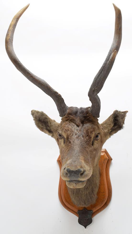 Taxidermy: Kashmir Deer or Hungul (Cervus elaphus hangul), circa September 27th 1877, Kashmir, - Image 3 of 3
