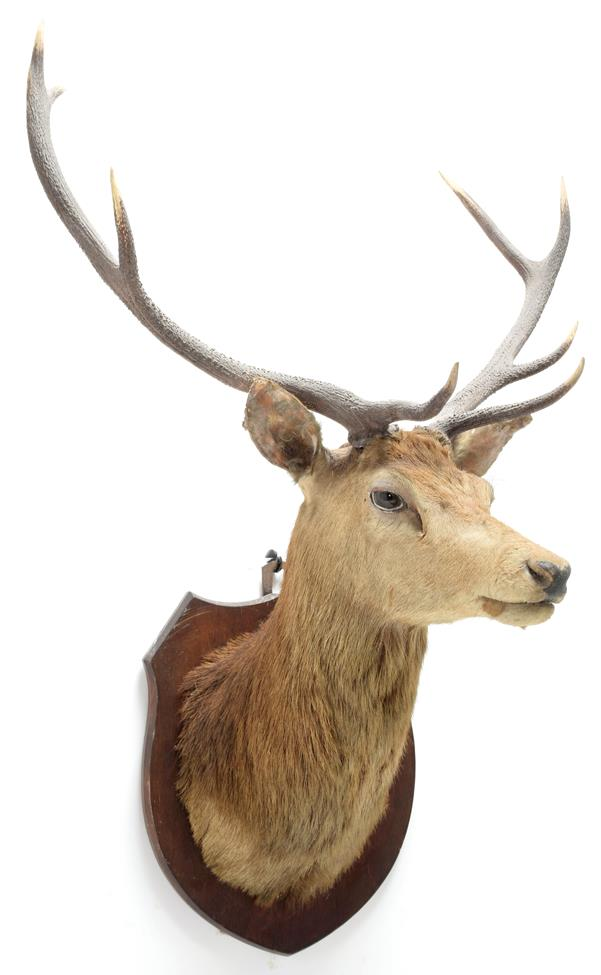 Taxidermy: Scottish Red Deer (Cervus elaphus), circa 1920, attributed to Peter Spicer & Sons,