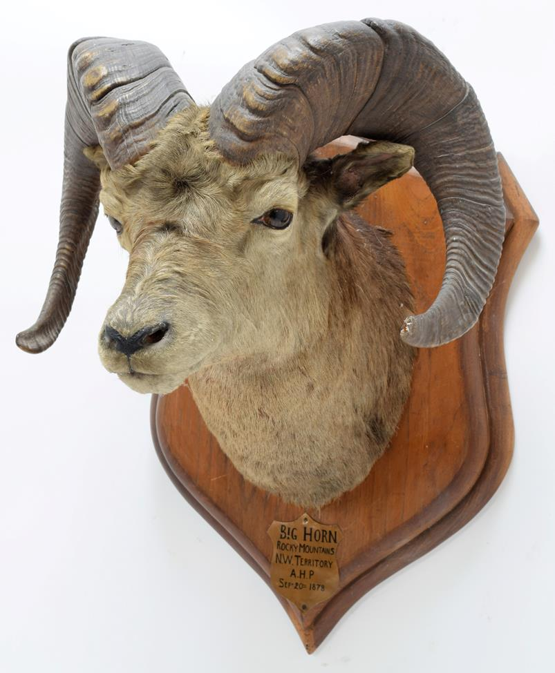 Taxidermy: North American Big Horn Sheep (Ovis canadensis canadensis), circa September 20th 1878, - Image 2 of 3