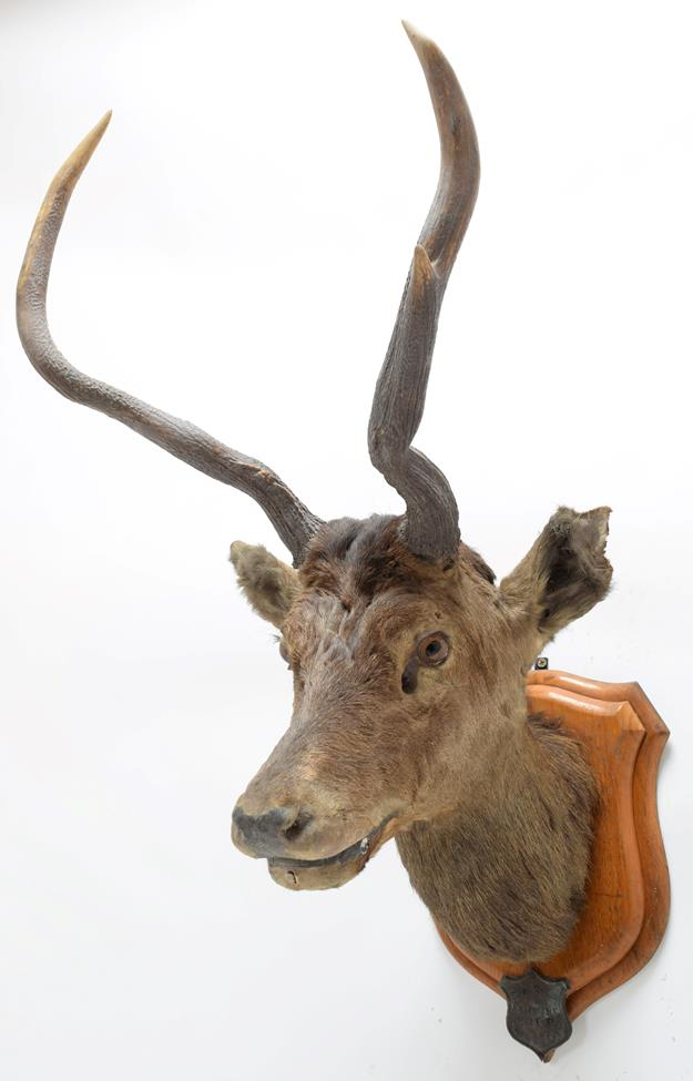 Taxidermy: Kashmir Deer or Hungul (Cervus elaphus hangul), circa September 27th 1877, Kashmir, - Image 2 of 3