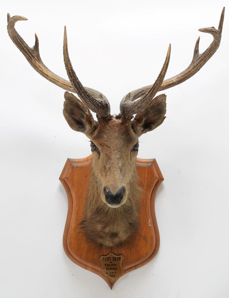 Taxidermy: Eld's Deer (Rucervus eldii), circa 1905, Burma, by Rowland Ward, ''The Jungle'', 166 - Image 3 of 3