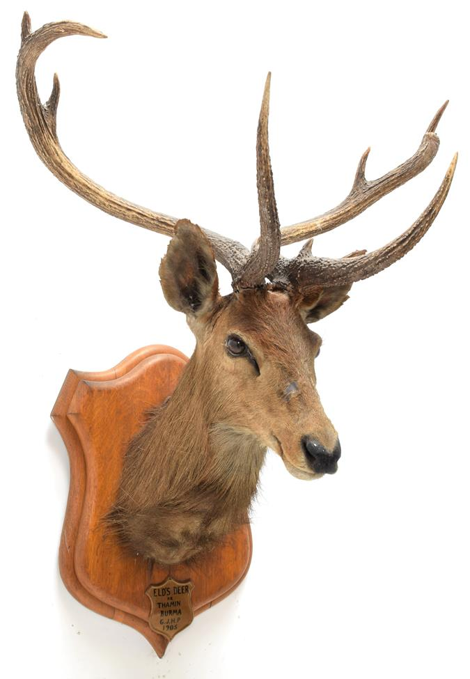 Taxidermy: Eld's Deer (Rucervus eldii), circa 1905, Burma, by Rowland Ward, ''The Jungle'', 166