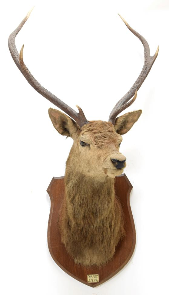 Taxidermy: Scottish Red Deer (Cervus elaphus), circa October 01st 1925, Isle of Mull, attributed