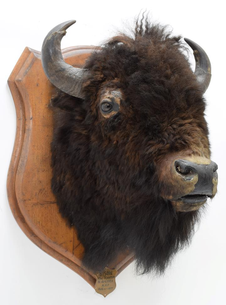 Taxidermy: North American Bison (Bos bison bison), circa August 31st 1877, North West Territory, - Image 2 of 3