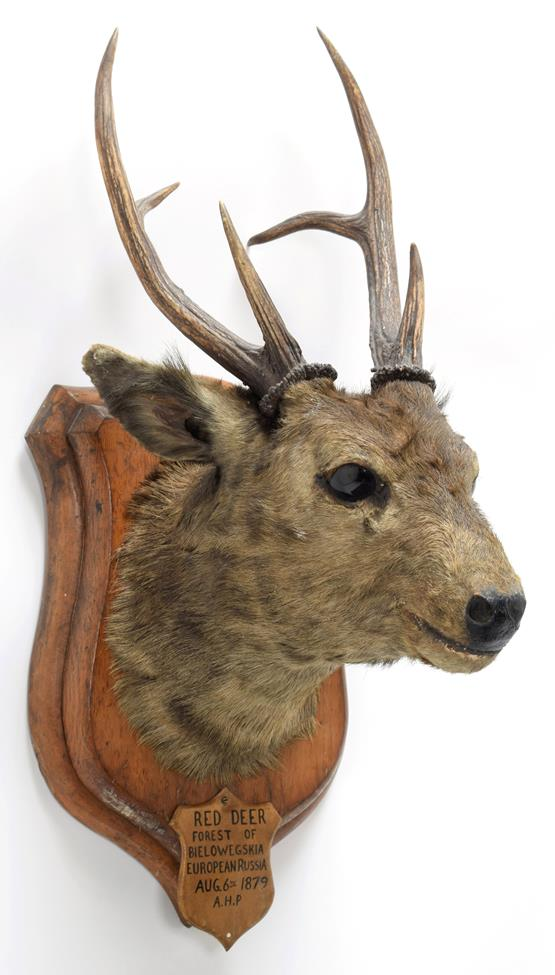 Taxidermy: Indian Hog Deer (Axis porcinus), circa 1887, an adult male head mount looking straight