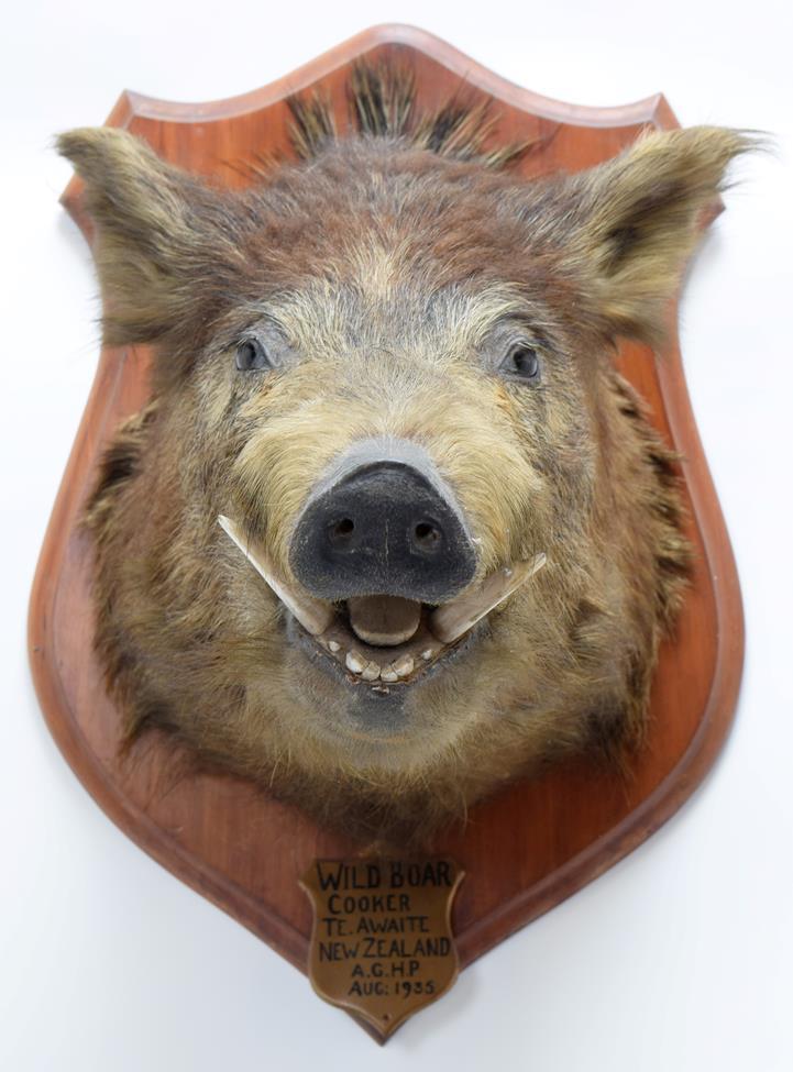 Taxidermy: New Zealand Wild Boar (Sus scrofa), circa August 1935, New Zealand, adult head mount - Image 3 of 3