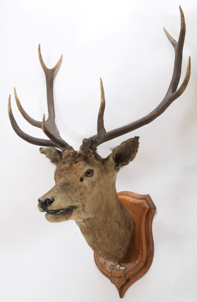 Taxidermy: Kashmir Deer or Hangul (Cervus elaphus hangul), circa 1877, Kashmir, India, large adult - Image 2 of 3