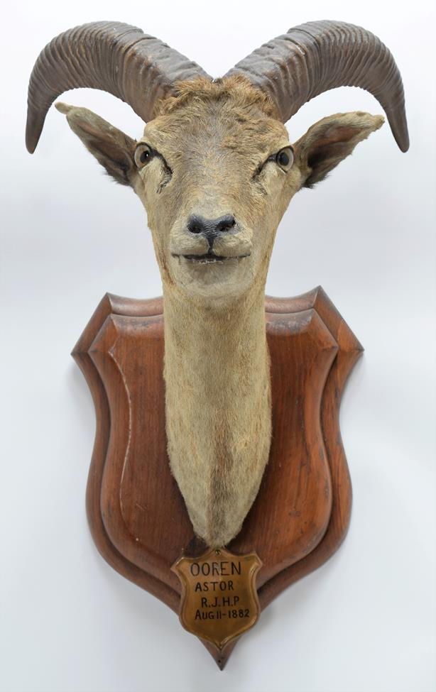 Taxidermy: Ladak Urial (Ovis orientalis vignei), circa August 11th 1882, India, young adult male - Image 3 of 3