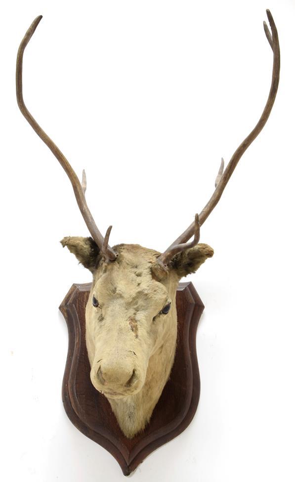 Taxidermy: European Red Deer & European Reindeer, circa late 19th century, a Red Deer stag neck - Image 4 of 6