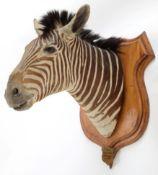 Taxidermy: Plains Zebra (Equus quagga burchellii), circa June 08th 1897, Sabei River, Mala Mala Game