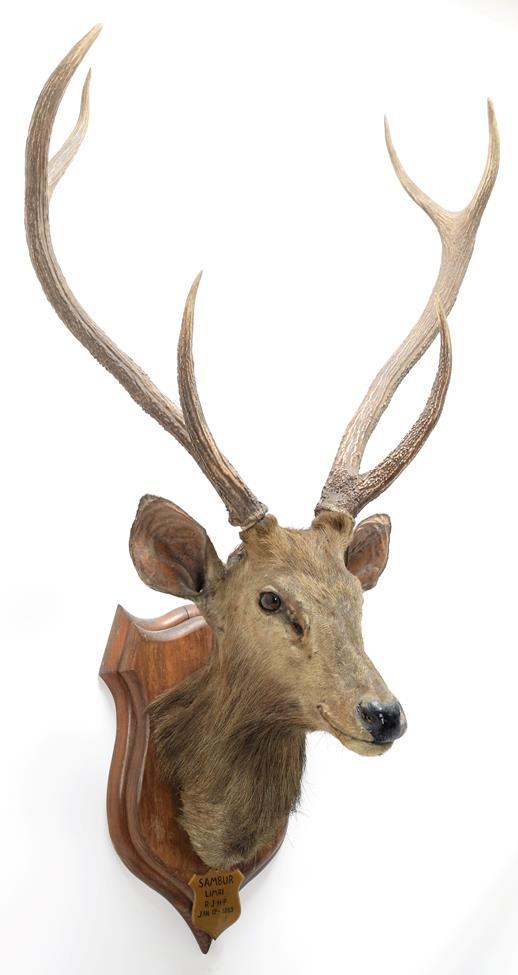 Taxidermy: Indian Sambar Deer (Rusa unicolor), circa January 12th 1883, Limri, Northern India, adult
