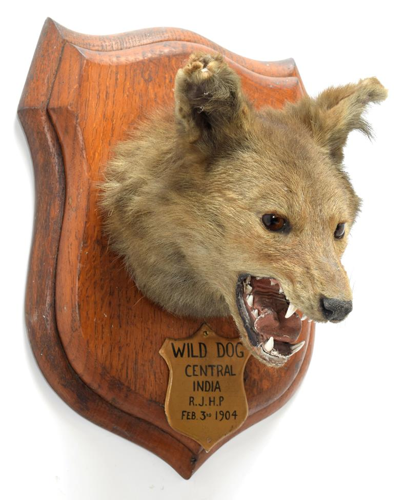 Taxidermy: Indian Wild Dog (Cuon alpinus), circa February 03rd 1904, by Rowland Ward ''The Jungle'',