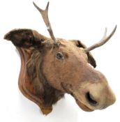 Taxidermy: European Moose (Alces alces), circa September 25th 1876, Norway, young adult male head