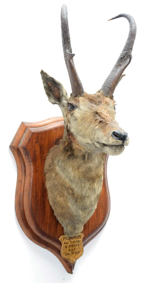 Taxidermy: North American Pronghorn (Antilocapra americana), circa September 03rd 1877, North West
