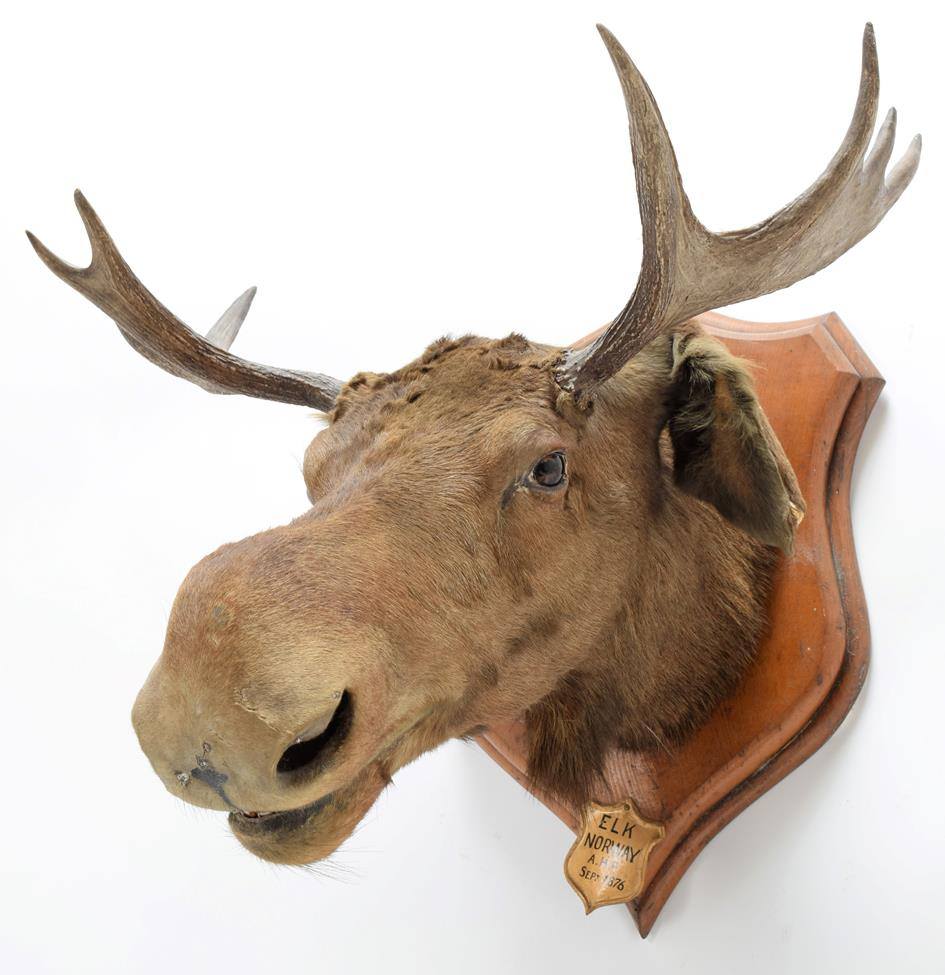 Taxidermy: European Moose (Alces alces), circa September 1876, Norway, young adult male head mount - Image 2 of 3
