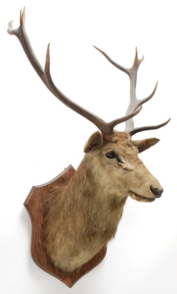 Taxidermy: European Red Deer & European Reindeer, circa late 19th century, a Red Deer stag neck