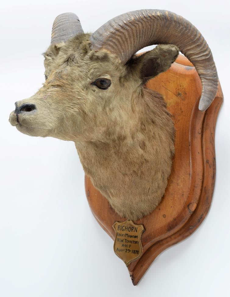 Taxidermy: Big Horn Sheep (Ovis canadensis), circa August 29th 1878, Rocky Mountains, North West - Image 2 of 3