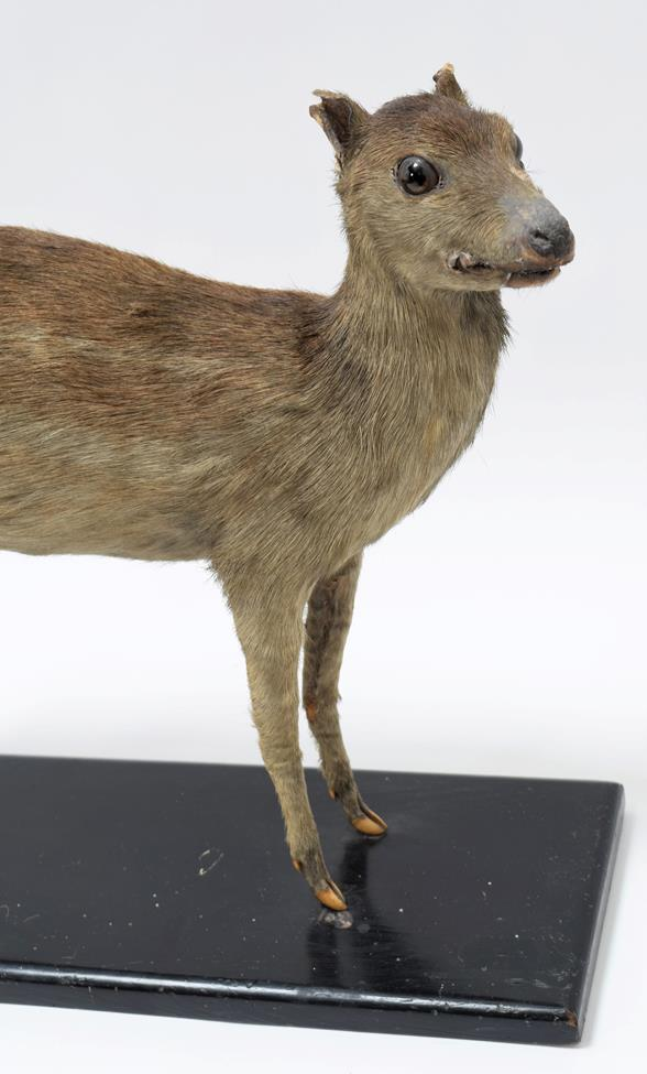 Taxidermy: Indian Spotted Chevrotain (Moschiola indica), circa 1920-1930, a full mount adult with - Image 2 of 2