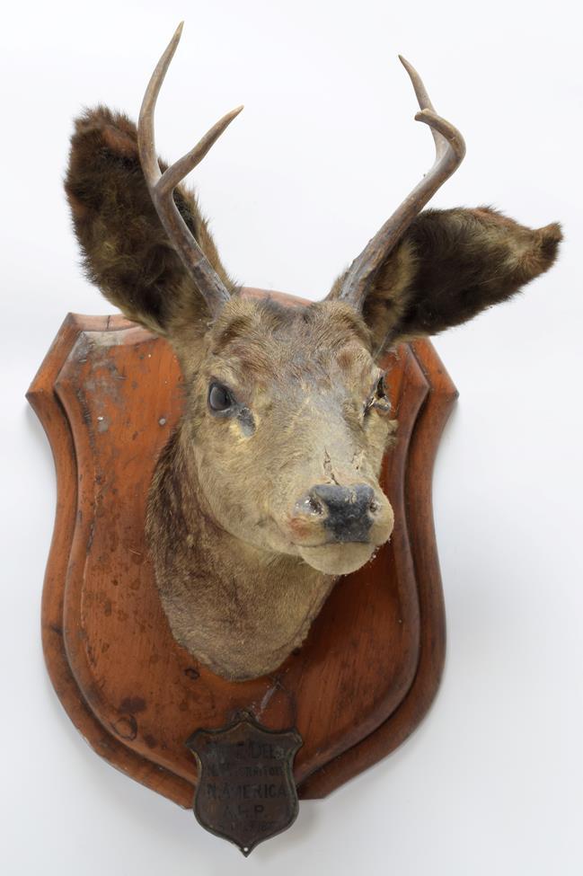 Taxidermy: A Pair of Mule Deer (Odocoileus hemionus), circa September 29th 1877, North West - Image 4 of 6