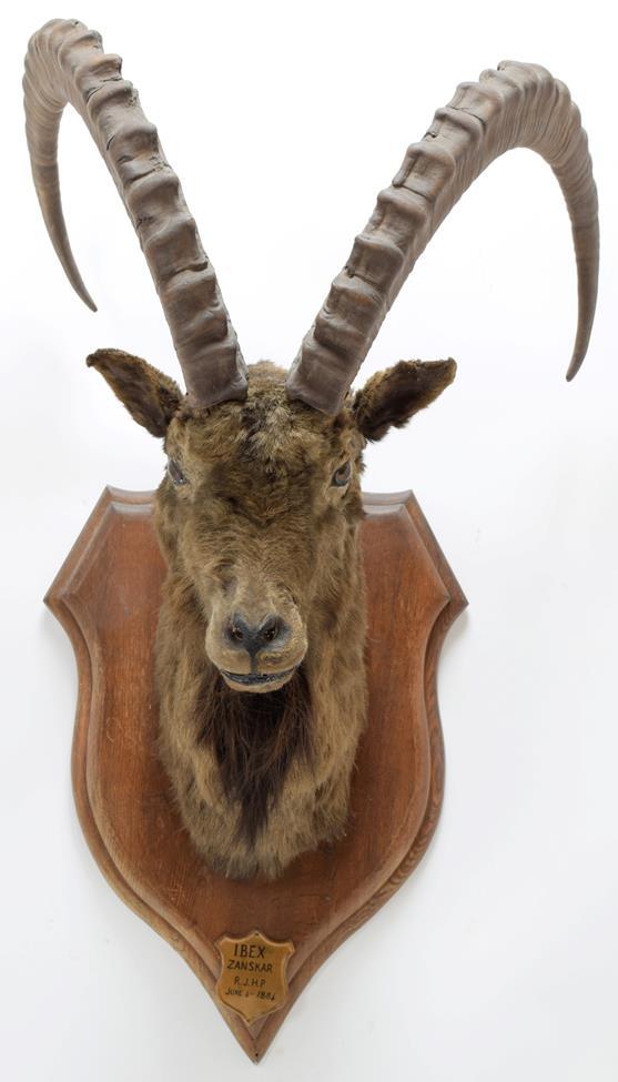 Taxidermy: Mid-Asian Ibex (Capra Sibirica alaiana), circa June 04th 1884, Zanskar, Ladakh, - Image 3 of 3