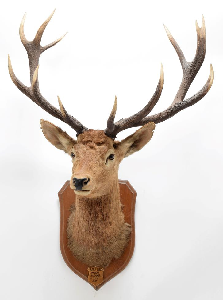 Taxidermy: Kashmir Deer or Hangul (Cervus elaphus hangul), circa 1887, Kashmir, by Rowland Ward '' - Image 3 of 3