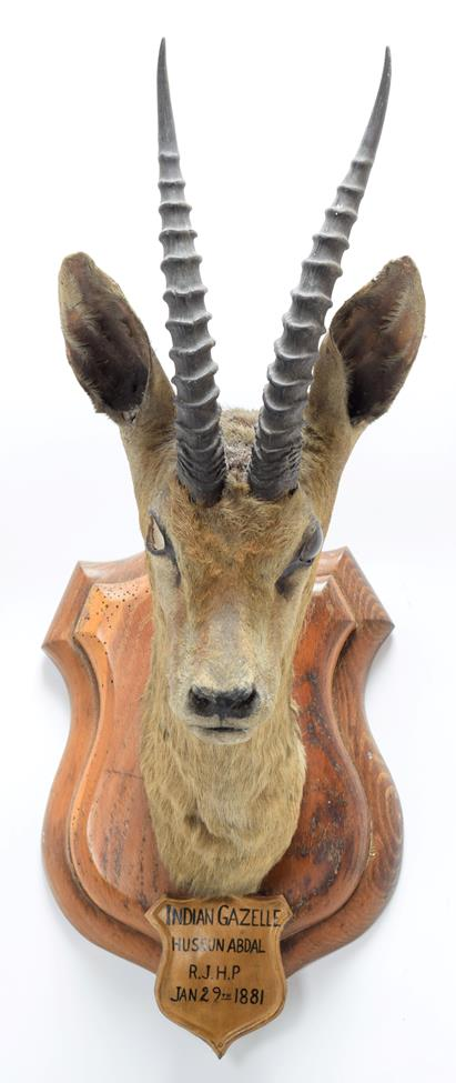 Taxidermy: Chinkara or Indian Gazelle (Gazella bennettii), circa January 29th 1881, Hussan Abdul, - Image 3 of 3
