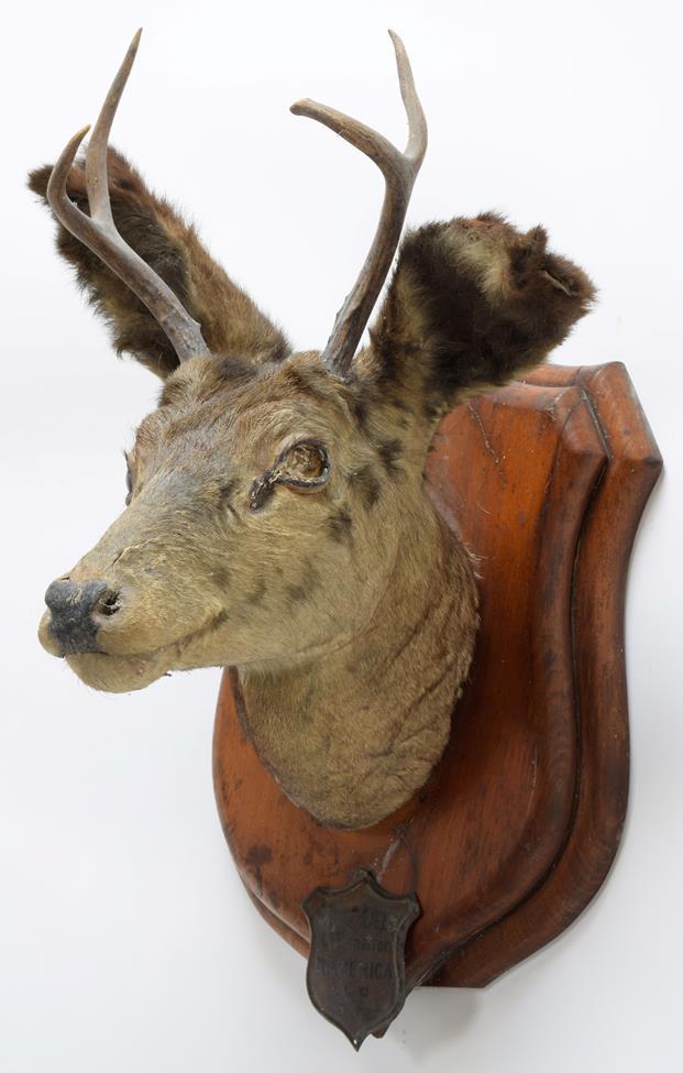 Taxidermy: A Pair of Mule Deer (Odocoileus hemionus), circa September 29th 1877, North West - Image 3 of 6