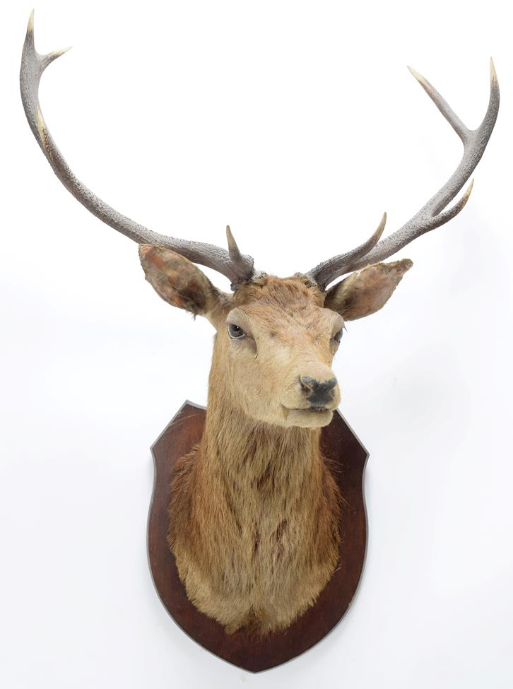 Taxidermy: Scottish Red Deer (Cervus elaphus), circa 1920, attributed to Peter Spicer & Sons, - Image 3 of 3